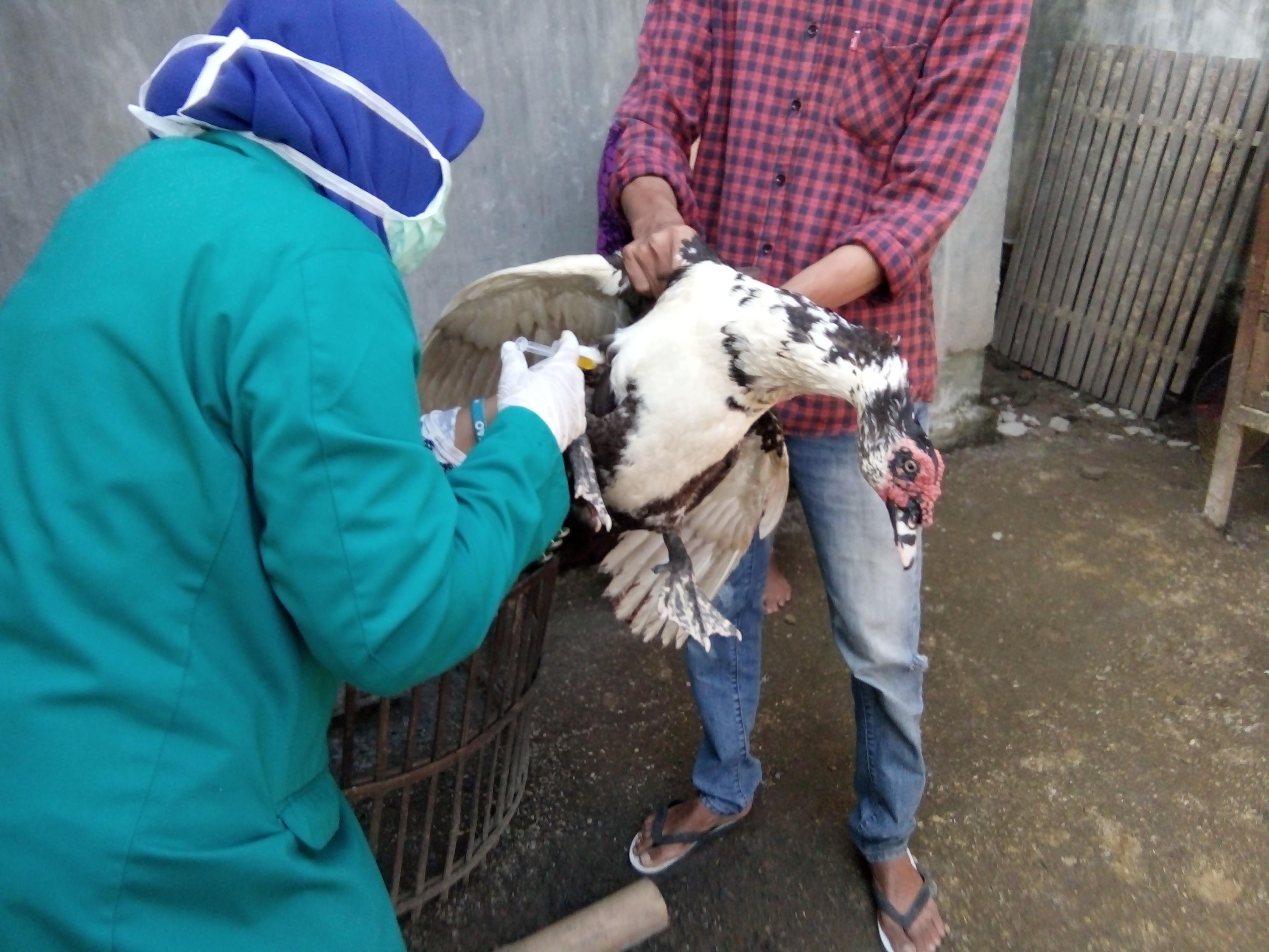 Penyuntikan Bebek Angsa Dan Ayam Pemberian Vitamin B
